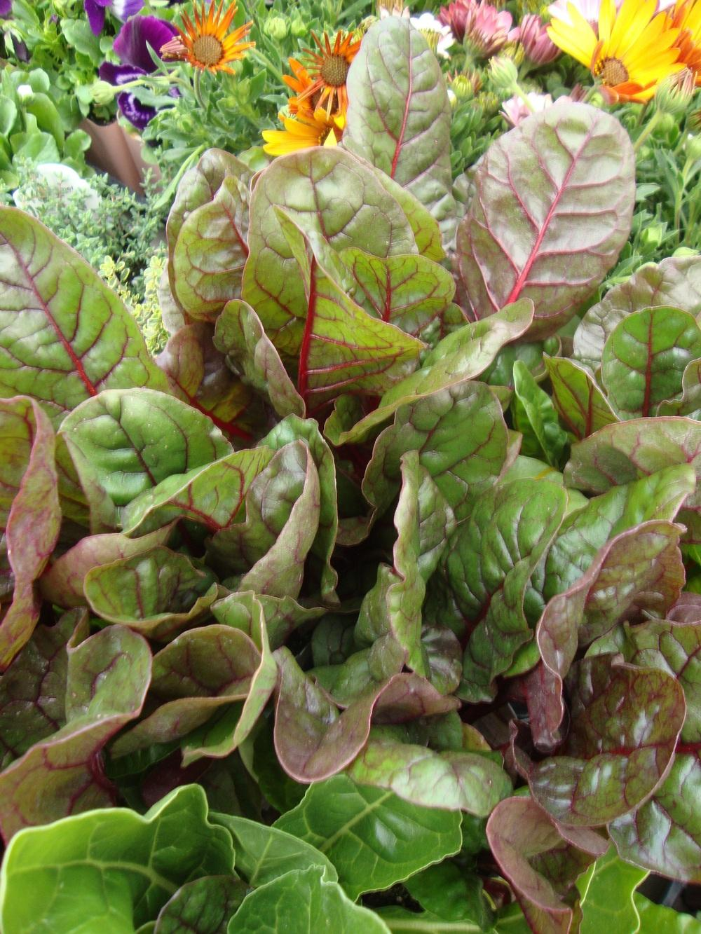 Photo of Swiss Chard (Beta vulgaris subsp. cicla 'Bright Lights') uploaded by Paul2032