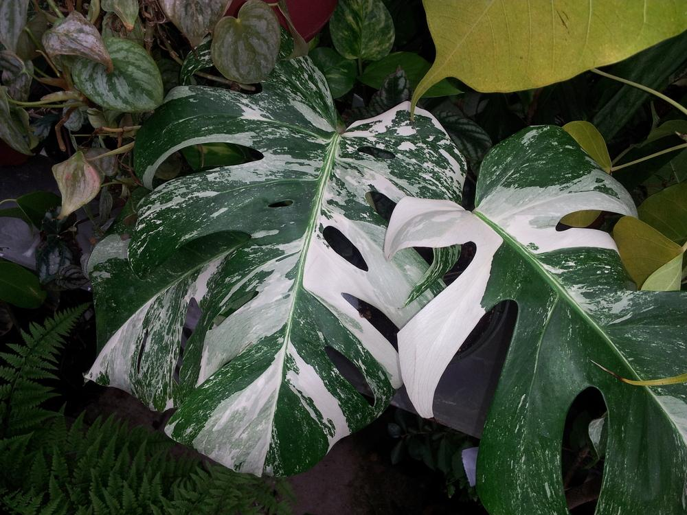photo of the leaves of white variegated monstera monstera. Black Bedroom Furniture Sets. Home Design Ideas