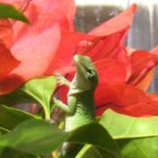 Location: Frisco TXDate: 2013-03-08Bloom with a gecko in my greenhouse