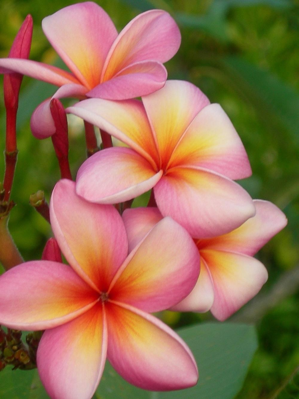23 Colorful Hawaiian Flower Tattoos With Meanings