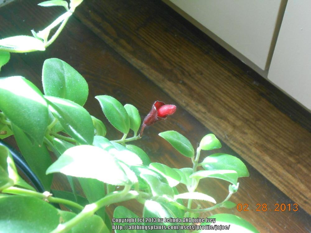 Photo of Lipstick Vine (Aeschynanthus radicans 'Mona Lisa') uploaded by jojoe