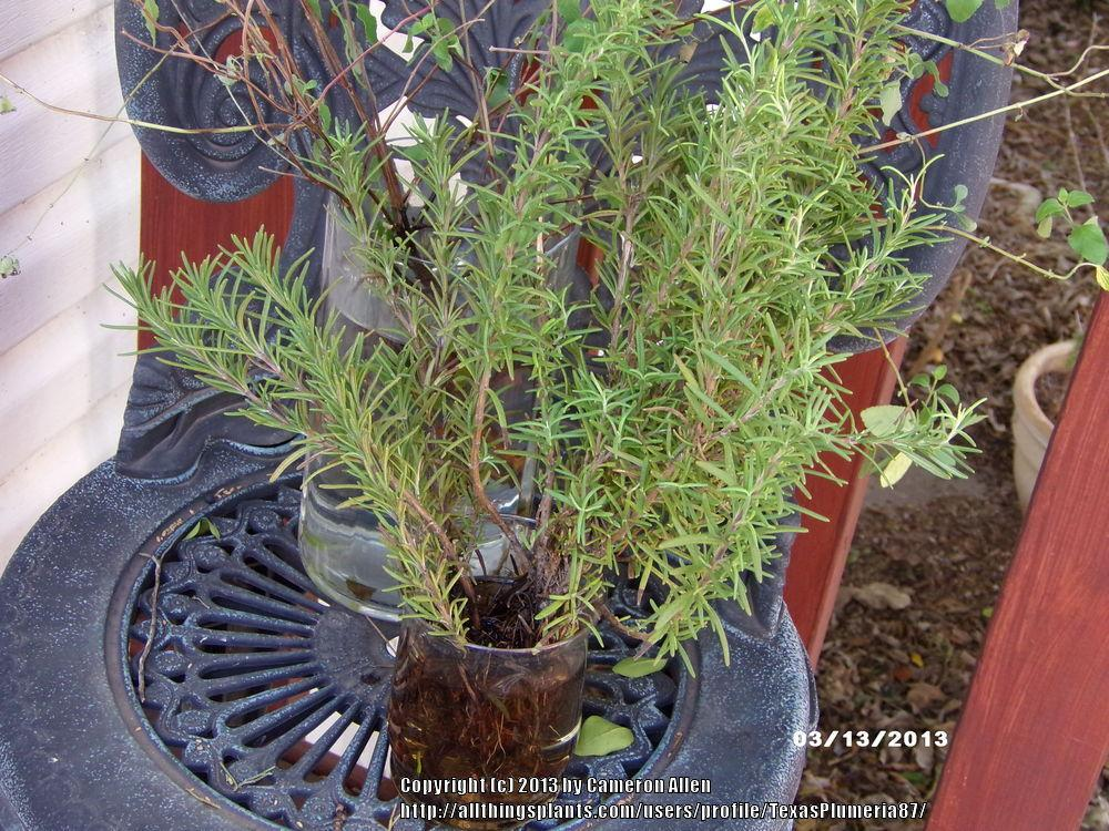 Photo of Rosemary (Salvia rosmarinus) uploaded by TexasPlumeria87