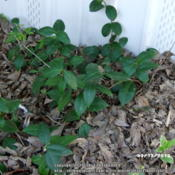 Location: Plano, TXDate: 2013-03-13Growing as a groundcover