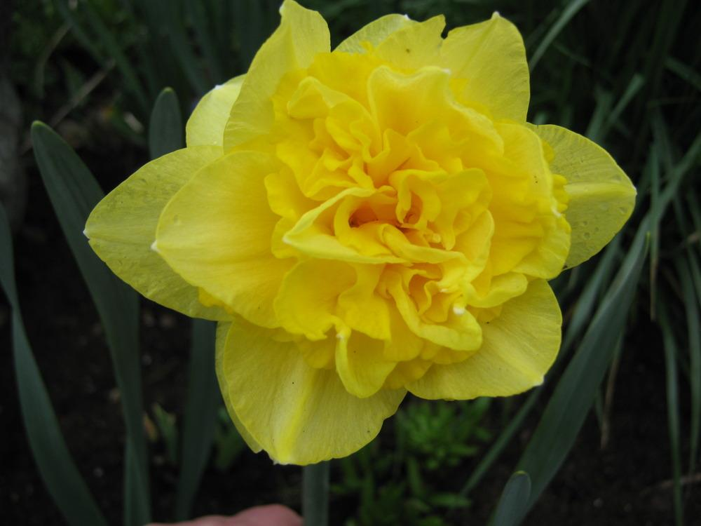 Photo of Daffodils (Narcissus) uploaded by Bonehead