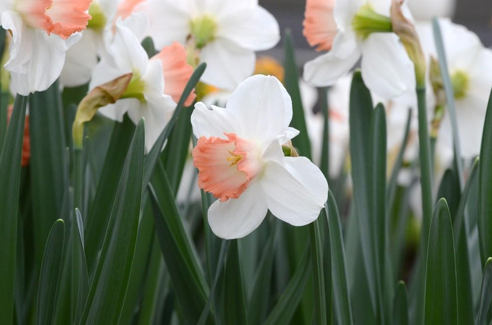 Photo of Large-Cupped Daffodil (Narcissus 'Pink Charm') uploaded by Anne