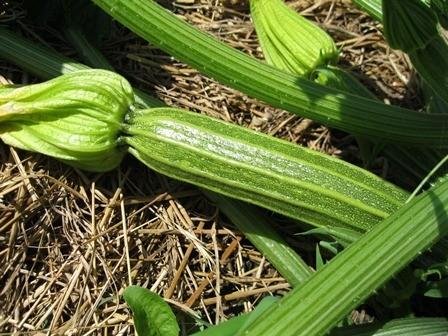 Photo of Zucchini (Cucurbita pepo 'Costata Romanesco') uploaded by vic