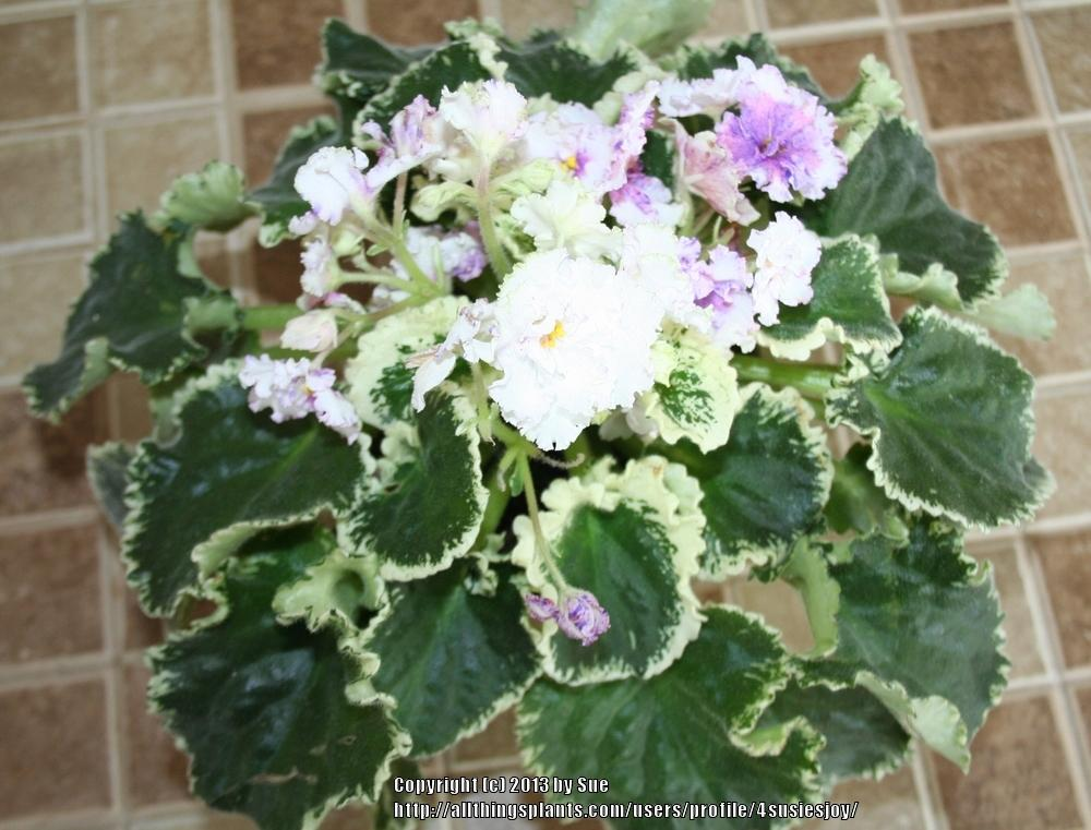 Photo of African Violet (Saintpaulia 'Ma's Glass Slipper') uploaded by 4susiesjoy