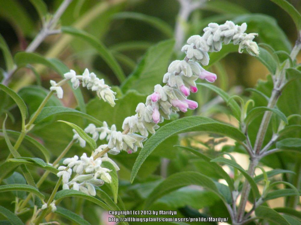 Photo of Mexican Bush Sage (Salvia leucantha 'Danielle's Dream') uploaded by Marilyn