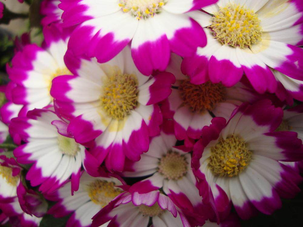 Photo of Florist's Cineraria (Pericallis hybrida) uploaded by Paul2032