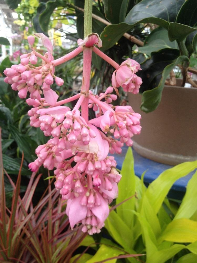 Photo of Pink Lantern (Medinilla magnifica) uploaded by Skiekitty