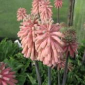 Pale Pink Form. Photo courtesy of Telos Rare Bulbs
