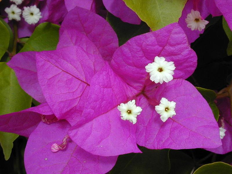 Photo of Great Bougainvillea (Bougainvillea spectabilis) uploaded by robertduval14