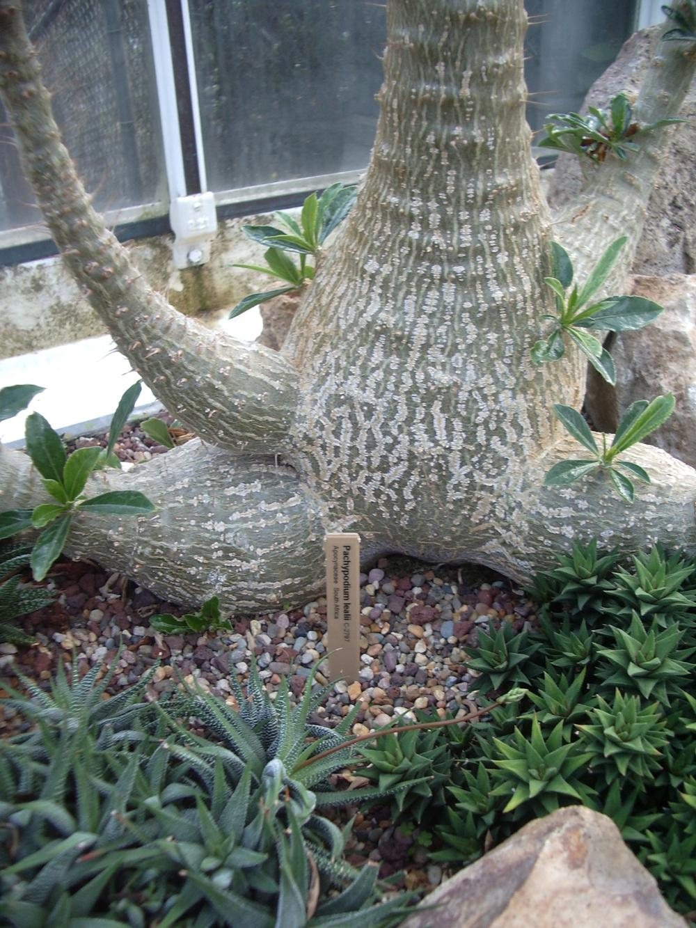 Photo of Bottle Tree (Pachypodium lealii) uploaded by a2b1c3