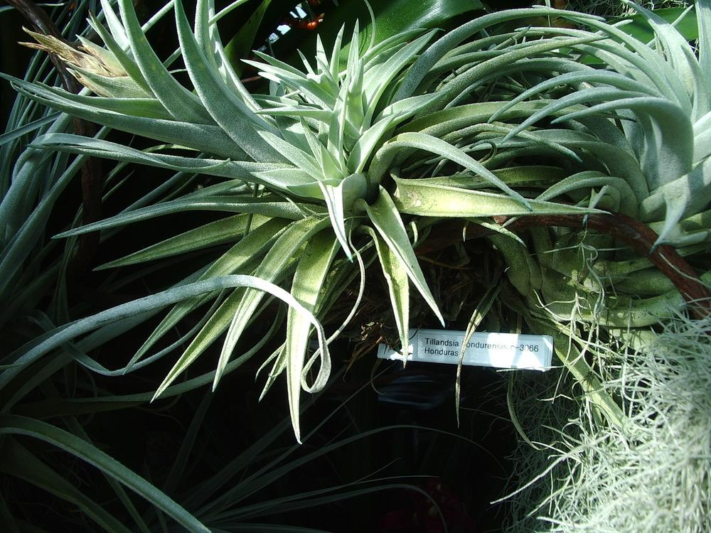 Photo of Air Plant (Tillandsia hondurensis) uploaded by a2b1c3