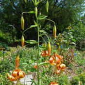 Location: garden of botanist Robert R. Kowal in Madison, WisconsinDate: July 15, 2012photo by James Steakley
