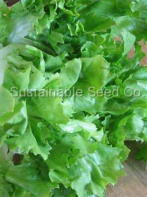 Photo of Escarole (Cichorium endivia 'Broad-Leaved Batavian') uploaded by vic