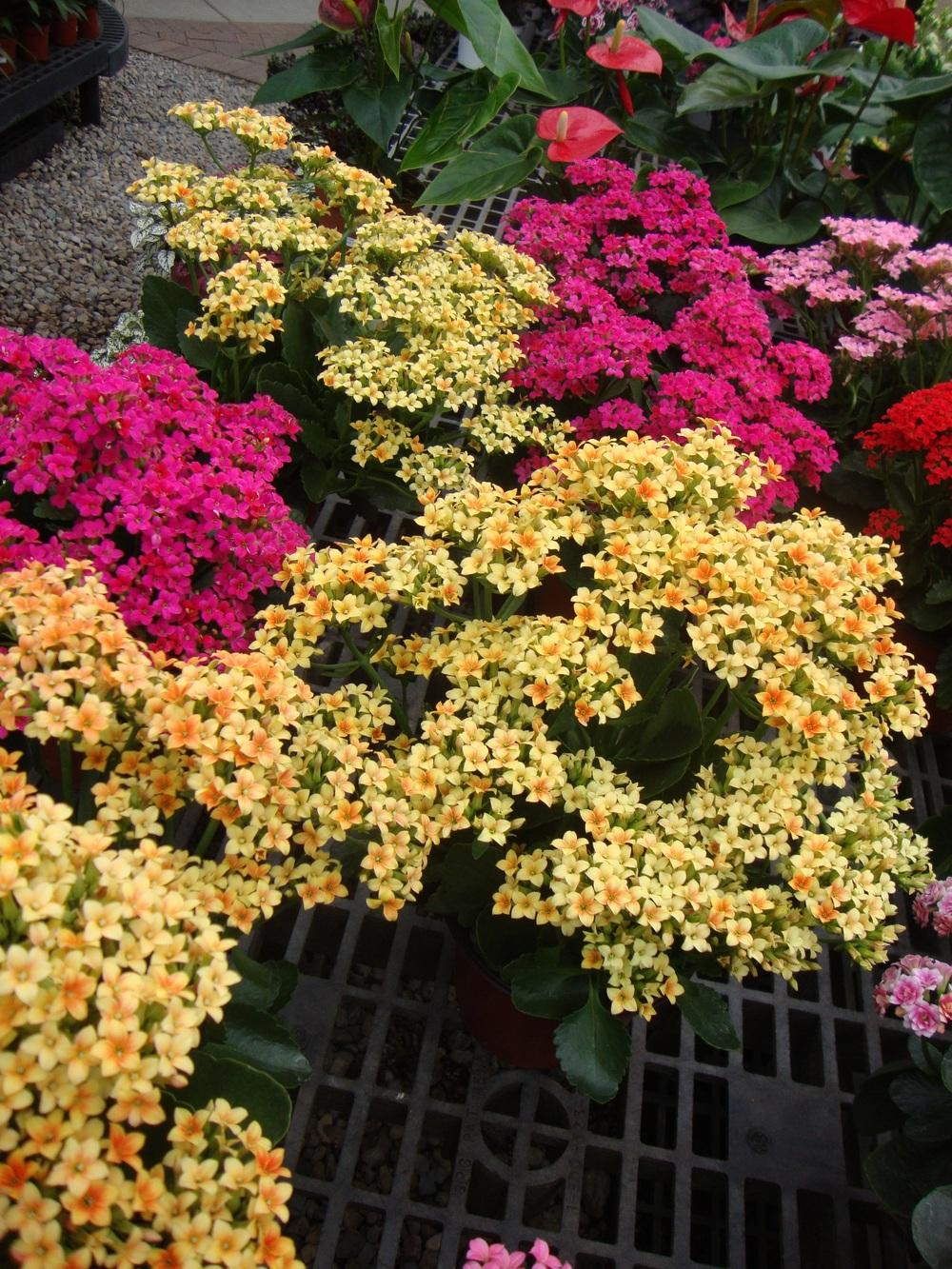 Photo of Florist Kalanchoe (Kalanchoe blossfeldiana) uploaded by Paul2032