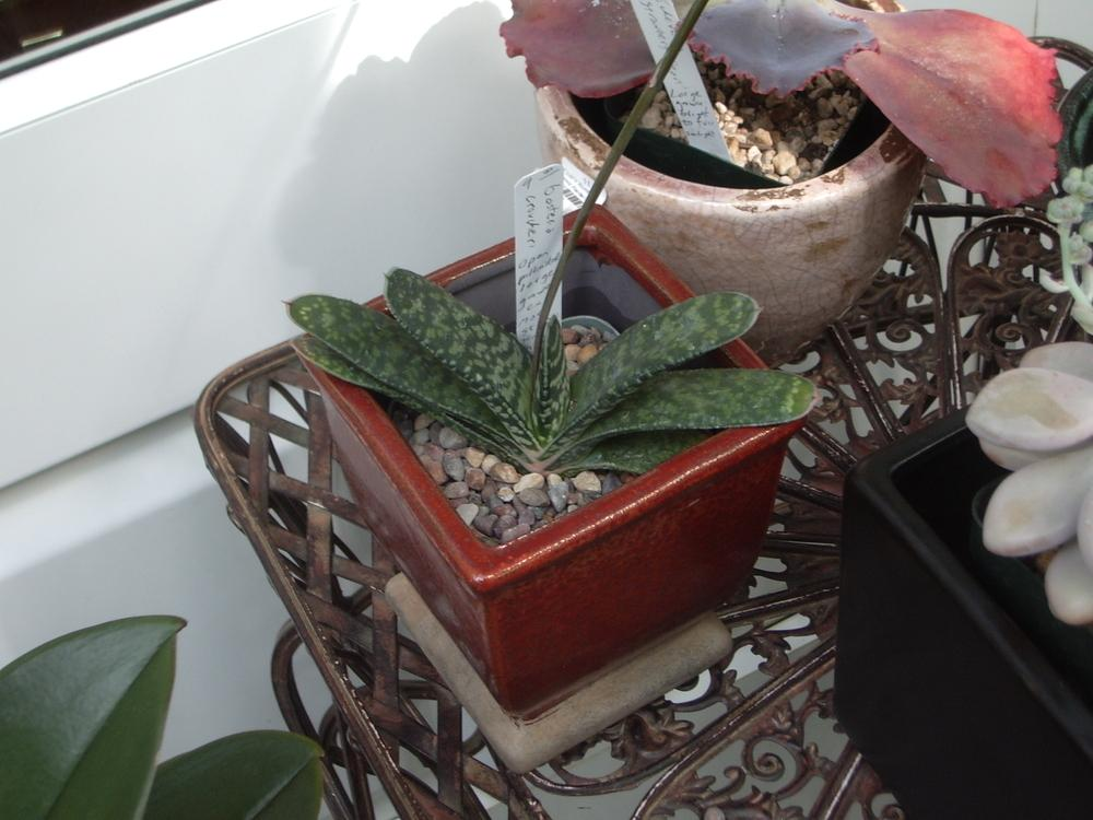 Photo of Gasteria (Gasteria croucheri) uploaded by a2b1c3