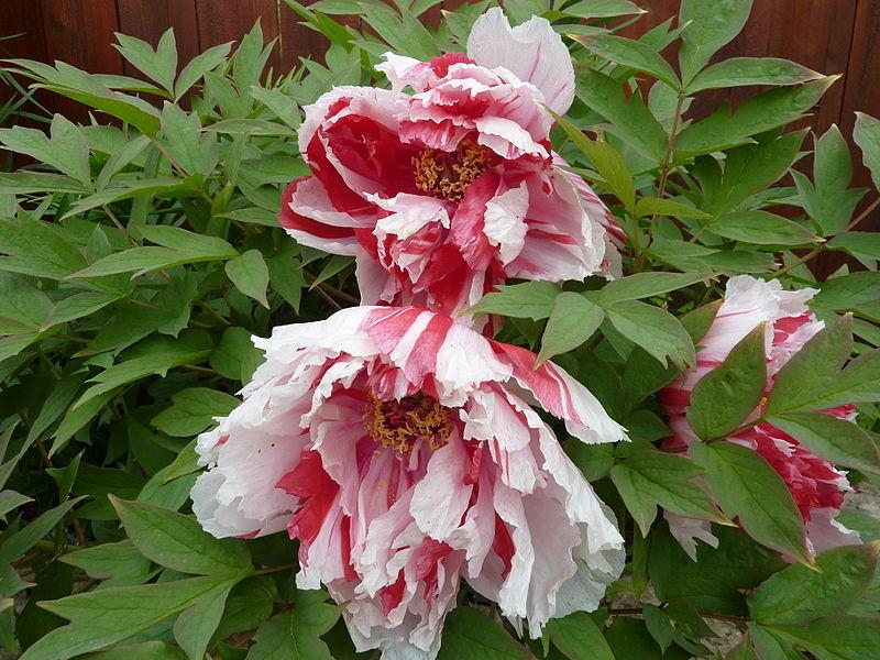 Photo of Japanese Tree Peony (Paeonia x suffruticosa 'Shima-nishiki') uploaded by robertduval14