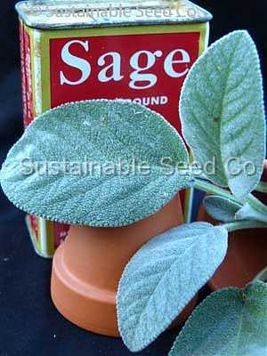 Photo of Culinary Sages (Salvia officinalis) uploaded by vic