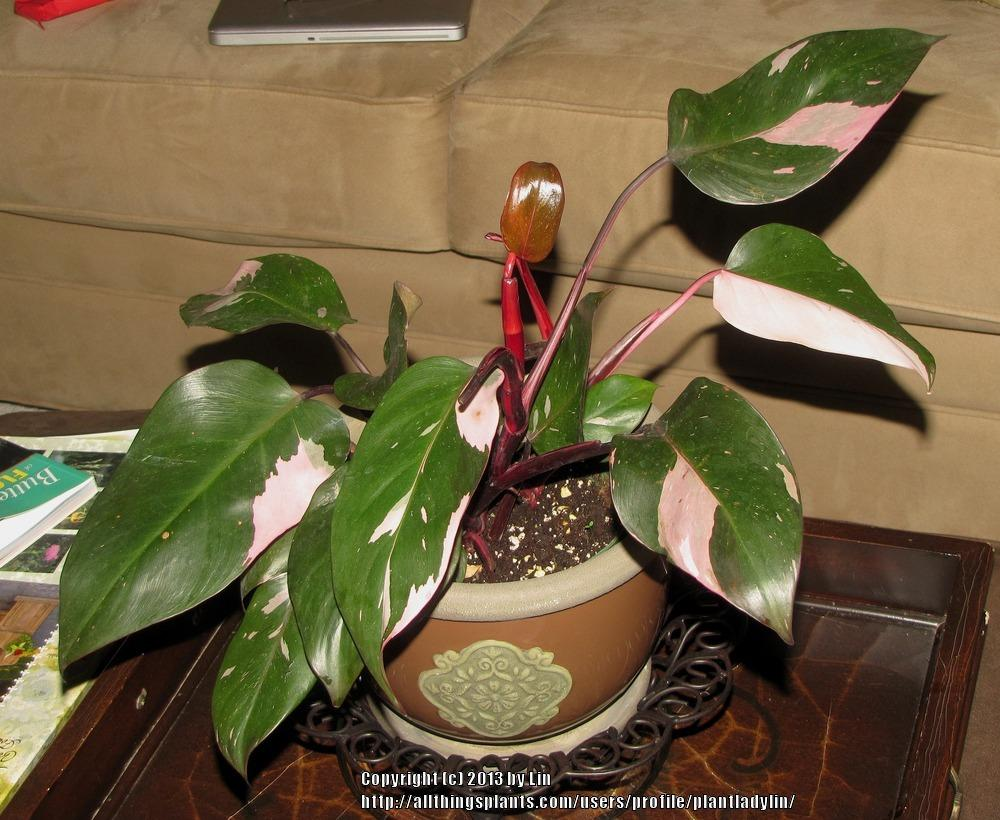 photo of the entire plant of blushing philodendron philodendron erubescens 39 pink princess. Black Bedroom Furniture Sets. Home Design Ideas