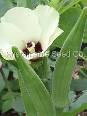 Photo of Okra (Abelmoschus esculentus 'Clemson Spineless') uploaded by vic