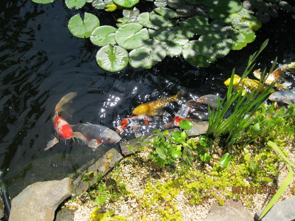 Ponds and water gardening forum water quality of koi for Koi pond water quality