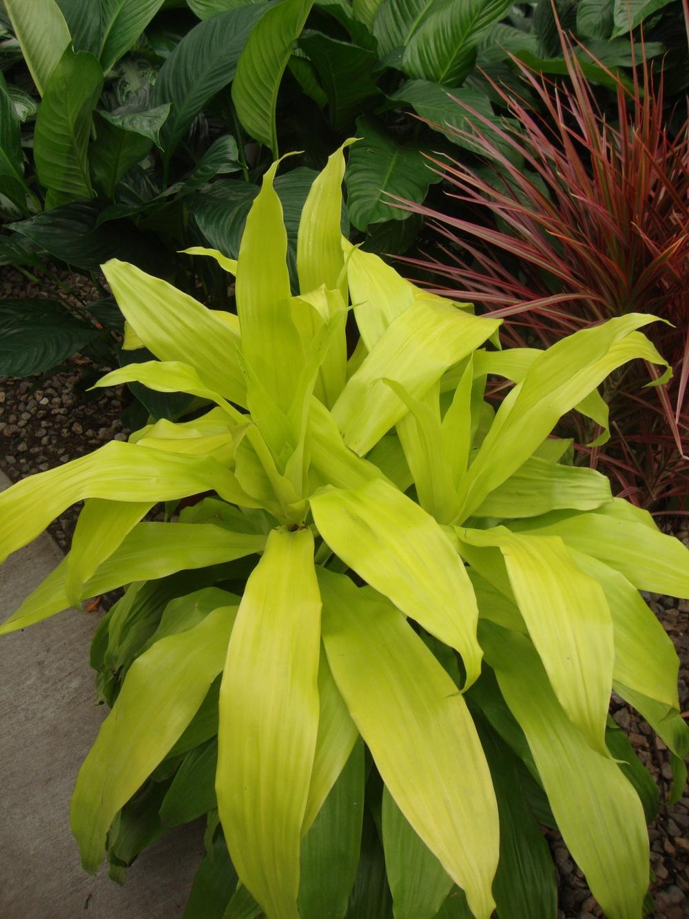 Photo of Corn Plant (Dracaena fragrans 'Limelight') uploaded by Paul2032