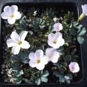 Oxalis flava Lavender Form (L. lupinifolia). Photo courtesy of Te