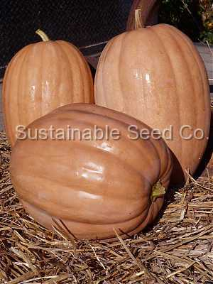 Photo of Pumpkin (Cucurbita moschata 'Dickinson') uploaded by vic