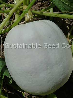 Photo of Pumpkin (Cucurbita maxima 'Casper') uploaded by vic