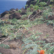 Location: Maui, Papanalahoa.Date: April 29, 2000photo by Forest & Kim Starr