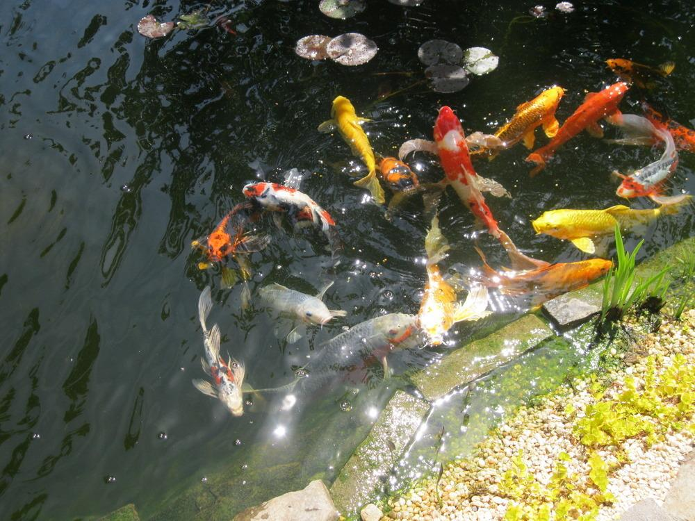 Backyard Fish Pond In The Philippines