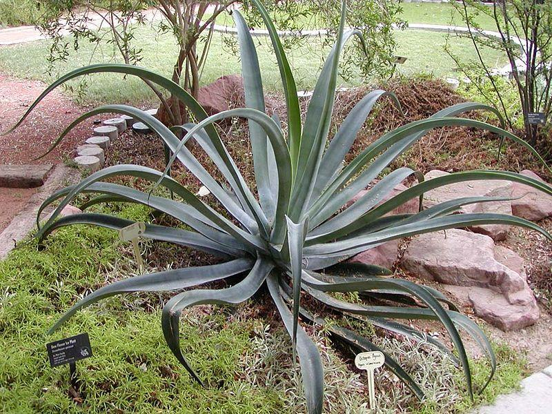 Photo of Octopus Agave (Agave vilmoriniana) uploaded by robertduval14