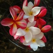 Location: Tampa, FloridaI don't like cutting the inflos of my plumeria when in bloom. How