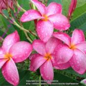 "Location: Tampa, FloridaThis is the second one. This is my ""no ID\"" plumeria I nick name"