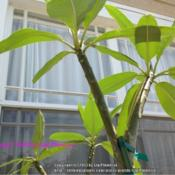"Location: Tampa, FloridaDate: 3/30/2013These are my two noID fragrant plumeria I nicknamed ""hot pink\""."