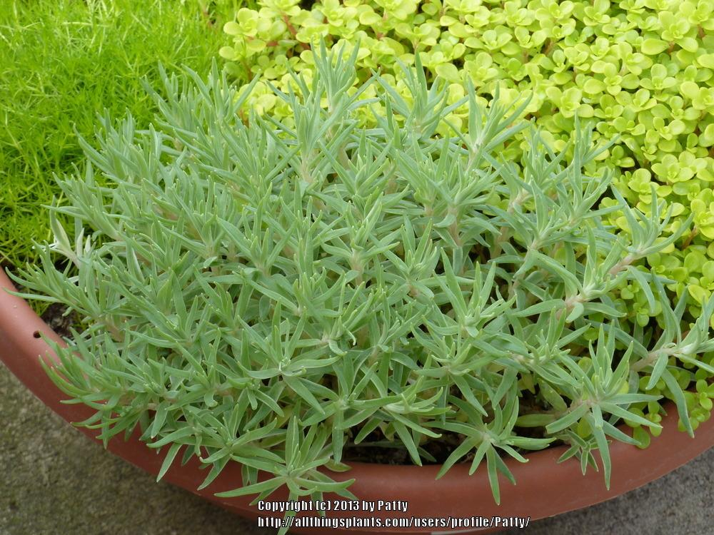 Photo of Stonecrop (Sedum lineare 'Sea Urchin') uploaded by Patty