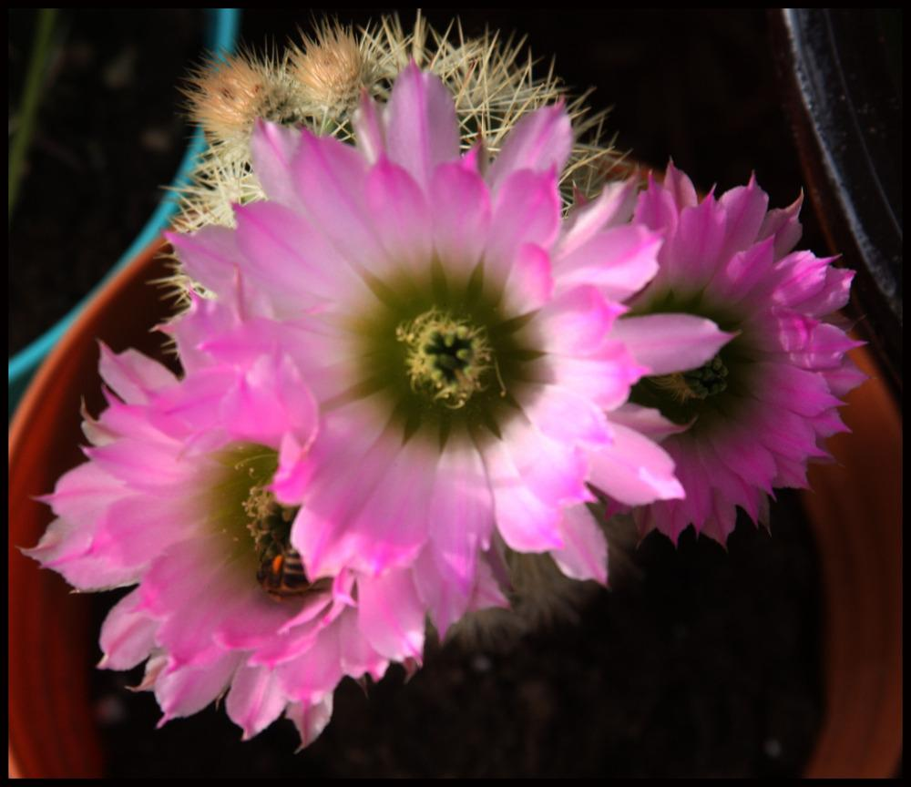 Cactus And Tender Succulents Forum Cacti With Pink Flowers Garden