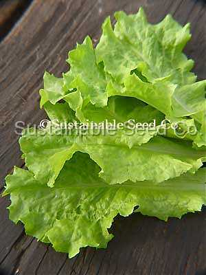 Photo of Lettuce (Lactuca sativa 'Black-Seeded Simpson') uploaded by vic