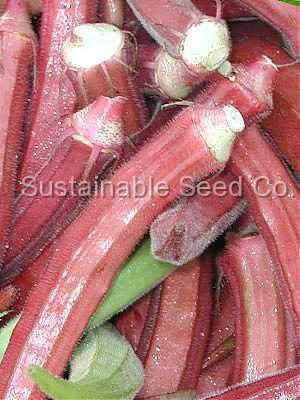 Photo of Okra (Abelmoschus esculentus 'Red Burgundy') uploaded by vic