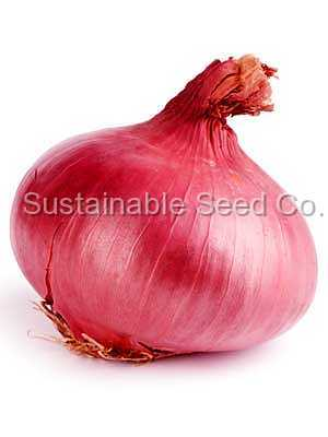 Photo of Onion (Allium cepa 'Red Burgundy') uploaded by vic