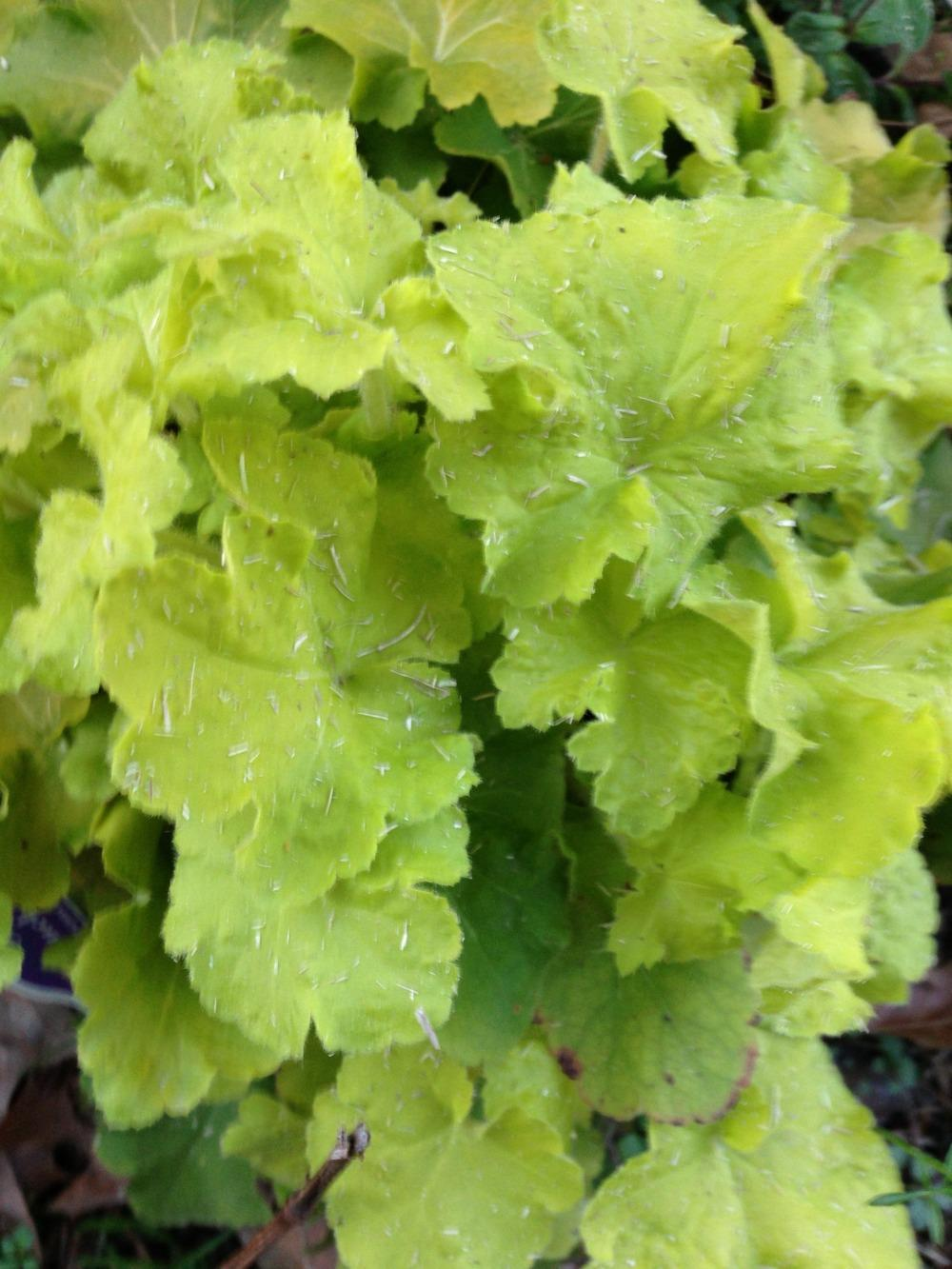 Photo of Coral Bells (Heuchera villosa 'Citronelle') uploaded by clintbrown