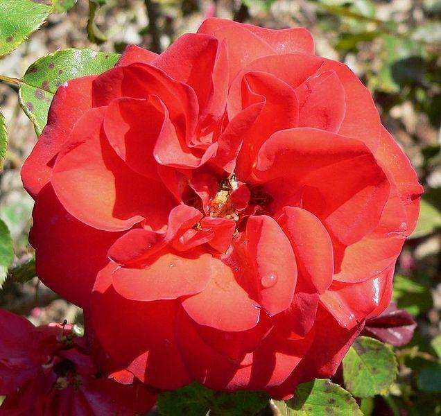 Photo of Rose (Rosa 'Evelyn Fison') uploaded by robertduval14