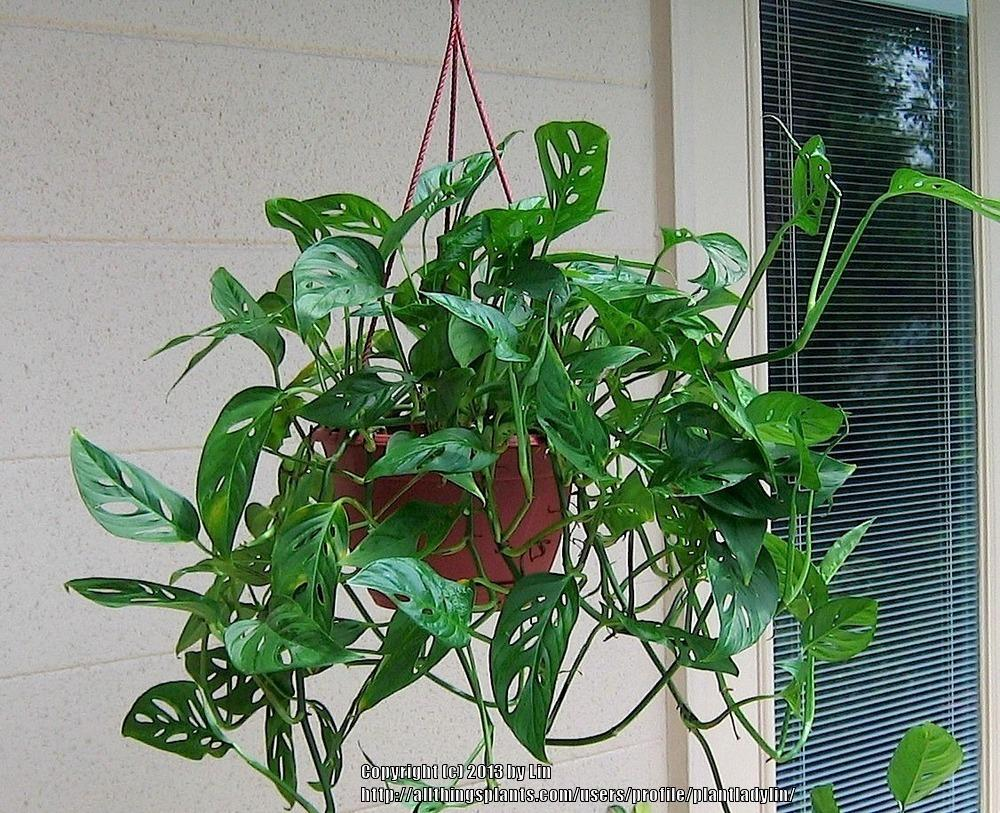 Photo of the entire plant of swiss cheese plant monstera for Plante monstera