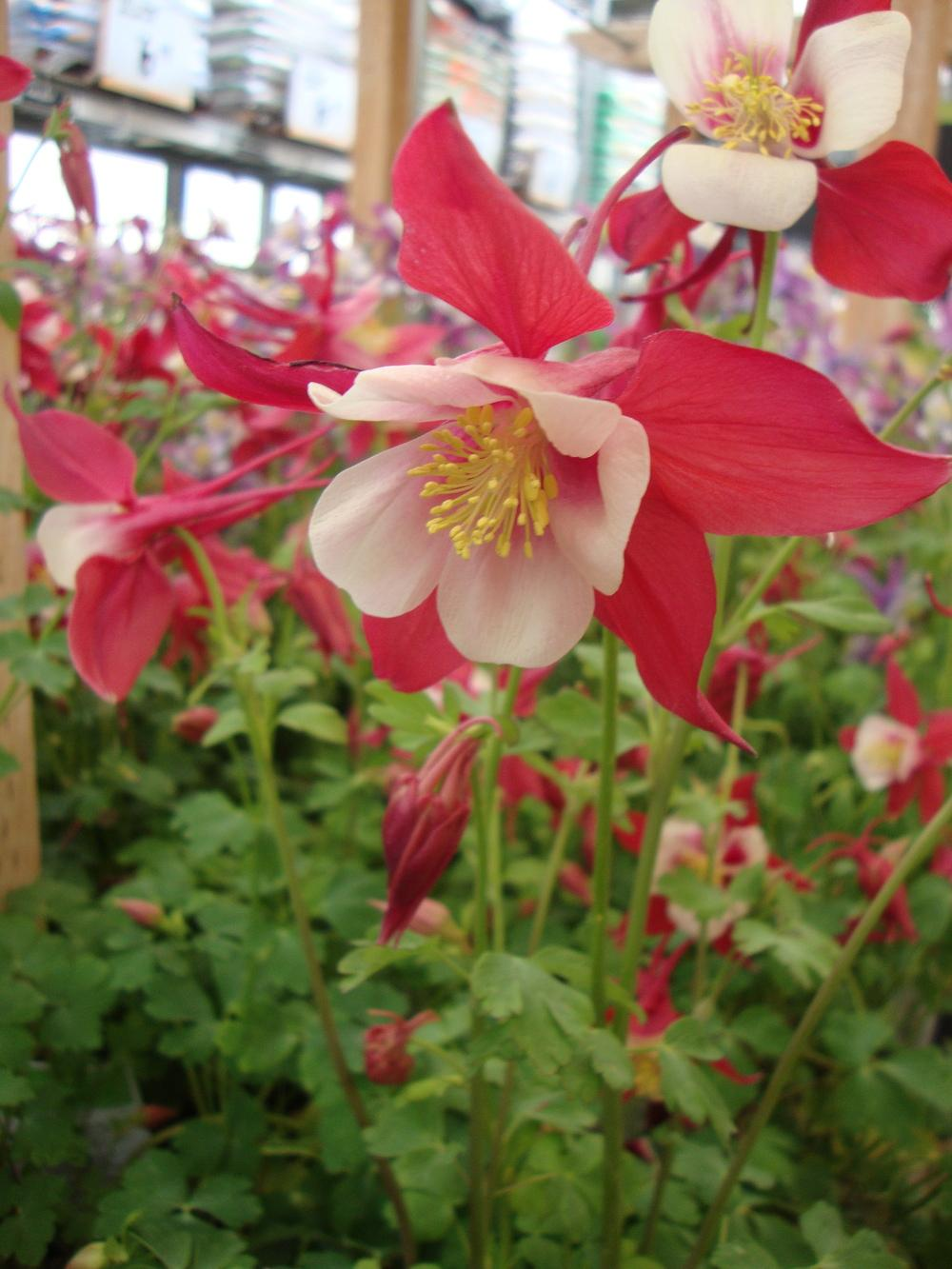Columbines plant care and collection of varieties garden add or edit informational text about this plant dhlflorist Images