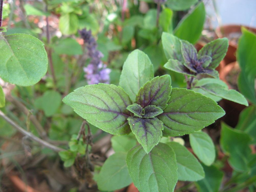 Photo of African Blue Basil (Ocimum 'African Blue') uploaded by wcgypsy