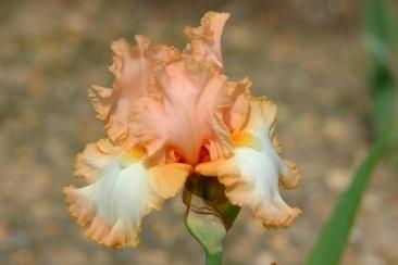 Photo of Tall Bearded Iris (Iris 'Barbara My Love') uploaded by eclayne