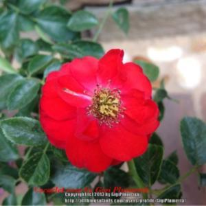 A beautiful plant that blooms deep red and multiple blooms in eac