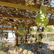 Location: RavenCroft CottageDate: 2009-10-19 This shot shows the fruit & vines after hard frost.